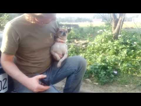 Rescuing a Chihuahua