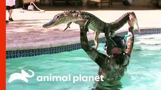 Video 6ft Gator Battles Paul In Family Pool | Gator Boys MP3, 3GP, MP4, WEBM, AVI, FLV Maret 2019