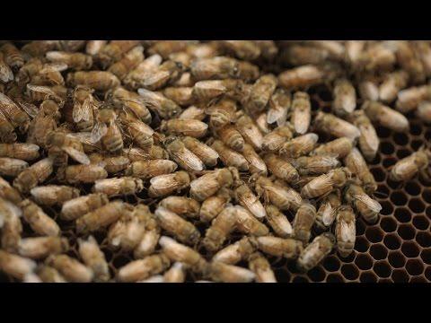 Bee Killers: Using Phages Against Deadly Honeybee Diseases