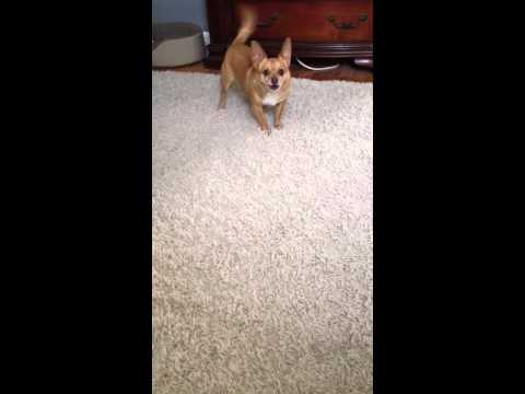 Stanley my Chihuahua barking