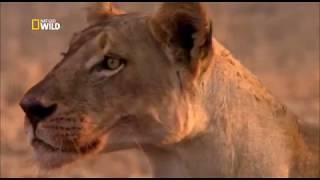 Video War for territory . Lions and petulants / Nat Geo Wild 2018 HD MP3, 3GP, MP4, WEBM, AVI, FLV Januari 2019