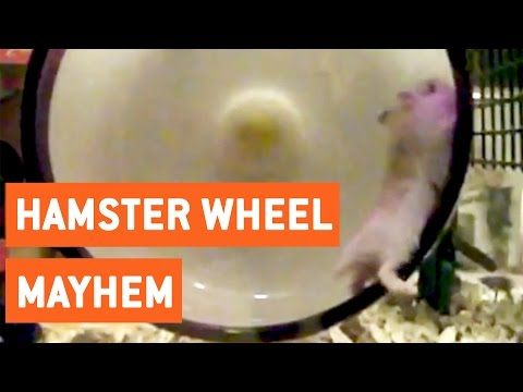 Hamster Wheel Mayhem | Slo Mo