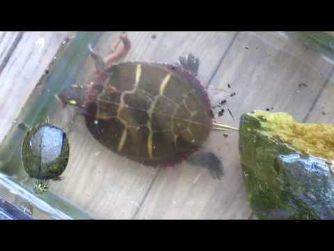 Eastern Painted Turtle feeding