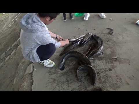 Bắt cá lóc khủng nướng ăn tại bờ sông - Thời lượng: 8 phút, 34 giây.