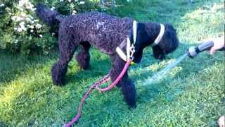 Punky The Poodle Is Playing With Water....