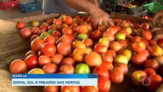 Chuva prejudica produção de hortaliça em Marília