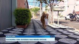 Cachorrinha de Sorocaba fica famosa na internet por buscar pães para os donos