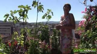 #1316 Minikirsche Miniapfel und Feige im Kübel auf Terrasse - mit Sabine Reber