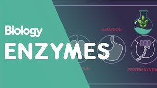 Enzymes are really important proteins, that speed up the rates of reactions such as in photosynthesis, respiration and protein synthesis. The enzymes and substrates are always moving, and occasionally they collide at the right speed and orientation so that the substrate fits into the enzyme at the active site. Collision theory dictates that collisions must occur with sufficient energy and in a specific orientation for a reaction to occur.Enzymes are specialised; their active site matches the shape of the specific substrate that they react with. The enzyme and the substrate fit together using a lock and key mechanism. Once the substrate is in the active site, the reaction takes place. The required product is produced and the enzyme releases itself and carries on moving around.The enzyme could be protease, which breaks down proteins into amino acids.Or carbohydrase which breaks down carbohydrates into glucose.Or lipase which breaks down fats into fatty acids and glycerols.Hydrogen peroxide is often formed as a result of reactions in cells, and if it is left to build up it is harmful. Luckily, we have catalase enzymes that are really fast. They break the hydrogen peroxide down into the harmless water and oxygen.Equally, enzymes can help build up molecules like this… but the process is still exactly the same.Whilst enzymes do fantastic things, they are sensitive. Each enzyme has optimum conditions under which it works best. Firstly, there needs to be enough substrate around - they need a high enough substrate concentration for the reaction that they catalyse. If there is too little substrate, then the rate of reaction is slowed.Sometimes, if there is too much product around then the reaction slows because the enzymes and substrates have less chance of bumping into each other. So the product needs to be removed for a higher rate of reaction.Enzymes also have optimum pH and temperature conditions. Up to a point, an increase in temperature causes increased rate of reaction because there is more heat energy. More energy means more collisions. However, above a certain temperature the rate drops off due to denaturing. We will look at the effect of pH and temperature on enzymes in our video  'Denaturation of Enzymes'.  The pH and temperature optimum conditions are specific to the conditions in which they work in; an enzyme that works in the stomach for example would have a more acidic optimum pH. And of course, there need to be enough enzymes around for the rate of reaction to be optimised.So we know that enzymes and substrates fit together at the active site and form a 'lock and key' mechanism. The enzyme then releases the product and can be reused again. They are sensitive to temperature and pH, and there needs to be sufficient enzyme and substrate concentrations for reactions to occur. Enzymes not only control all kinds of reactions such as in photosynthesis, respiration, digestion and protein synthesis, but we also make use of them in day to day life. Protease and lipase enzymes are used in biological washing powders to remove proteins and fats from stains in our clothes. We also use enzymes in our food and drink industries; pectinase is used to break down the cells in fruit when making fruit juice so that more juice is released.SUBSCRIBE to the FuseSchool YouTube channel for many more educational videos. Our teachers and animators come together to make fun & easy-to-understand videos in Chemistry, Biology, Physics, Maths & ICT.VISIT us at www.fuseschool.org, where all of our videos are carefully organised into topics and specific orders, and to see what else we have on offer. Comment, like and share with other learners. You can both ask and answer questions, and teachers will get back to you.These videos can be used in a flipped classroom model or as a revision aid. Find all of our Chemistry videos here:https://www.youtube.com/watch?v=cRnpKjHpFyg&list=PLW0gavSzhMlReKGMVfUt6YuNQsO0bqSMV Find all of our Biology videos here: https://www.youtube.com/watch?v=tjkHzEVcyrE&list=PLW0gavSzhMlQYSpKryVcEr3ERup5SxHl0 Find all of our Maths videos here:https://www.youtube.com/watch?v=hJq_cdz_L00&list=PLW0gavSzhMlTyWKCgW1616v3fIywogoZQ Twitter: https://twitter.com/fuseSchoolAccess a deeper Learning Experience in the FuseSchool platform and app: www.fuseschool.orgFollow us: http://www.youtube.com/fuseschoolFriend us: http://www.facebook.com/fuseschoolThis Open Educational Resource is free of charge, under a Creative Commons License: Attribution-NonCommercial CC BY-NC ( View License Deed: http://creativecommons.org/licenses/by-nc/4.0/ ).  You are allowed to download the video for nonprofit, educational use. If you would like to modify the video, please contact us: info@fuseschool.org