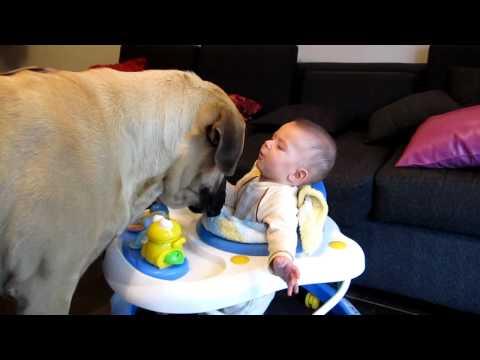 Bebe jugando con mastiff ingles