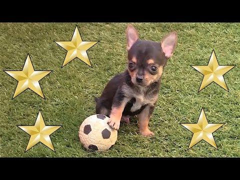 Cachorro chihuahua macho al mundial futbol.