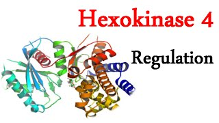 Regulation of hexokinase 4