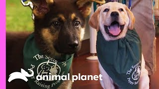 Two Future Guide Dogs Start Their Training | Too Cute! by Animal Planet