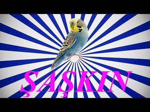 Video ŞAŞKIN SESİ Papağan ve Muhabbet kuşu  konuşma eğitimi Sesi hazır ses kaydı 1 saat download in MP3, 3GP, MP4, WEBM, AVI, FLV January 2017