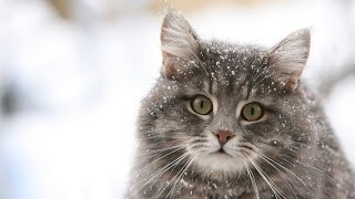 "Презентация Quotes About Cats (without advertisеments) ""Cats are a mysterious kind of folk."" ― Walter Scott ""What greater gift than the love of a cat."