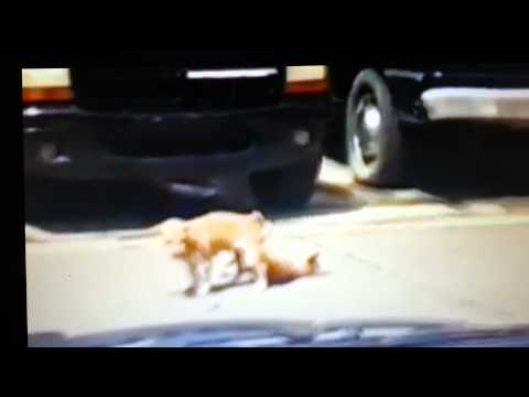 Chihuahua Faints after having sex. Funny clip lol