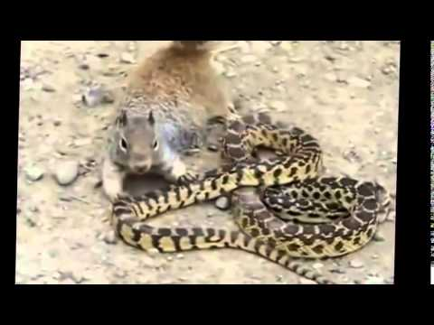 Mongoose vs cobra Snake Top 3 fighting new videos 2015