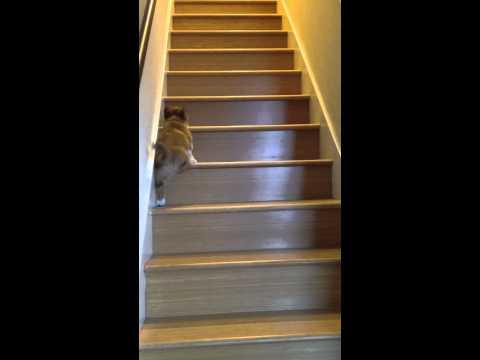 腿短爬樓梯真低很累,小柯基超可愛