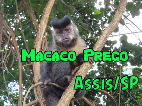 Macaco Prego - Assis /SP