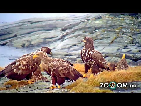 Exclusive: Eagle's Feeding Frenzy Caught On Live Cam