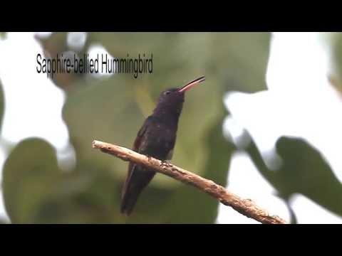 Sapphire-bellied Hummingbird
