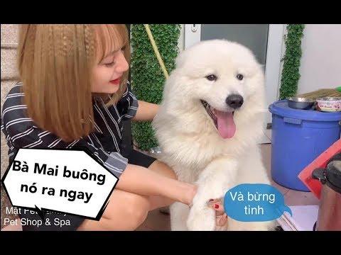 Mật Ghen Lồng Lộn khi Mai nói yêu em chó mới - Samoyed tai cụp cực hiếm cute quá thể - Thời lượng: 7 phút, 35 giây.