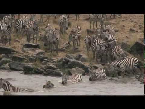 Wildebeests - Wildebeests crossing the Mara River in Kenya is the most dangerous part of their annual 1800 mile migration.