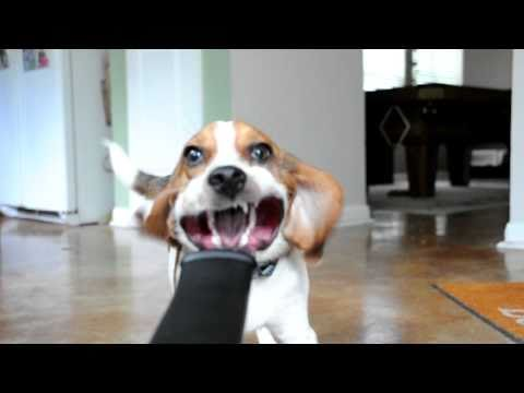 beagle vs blower!
