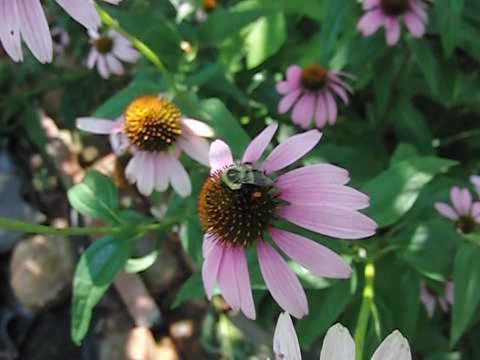 Bees Collecting Pollen on Echinacea Flowers in Slow Motion
