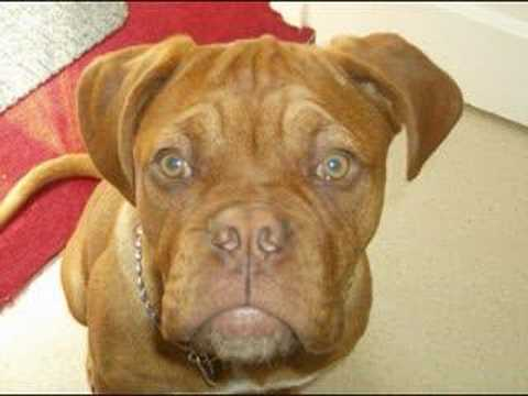 dogue de bordeaux cross pitbull. dogue de bordeaux Selena 3 ans