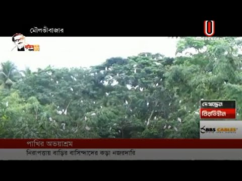 Few house of Mallick Sarai village is safe haven of birds (02-08-2020) Courtesy: Independent TV