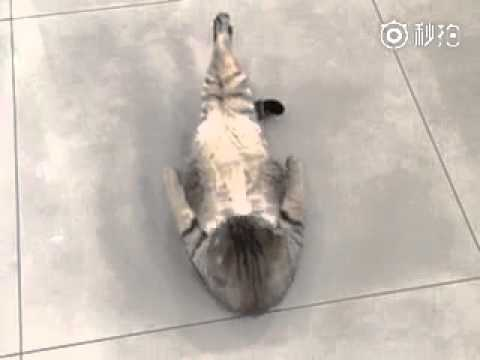 WATCH: Cat does sit-ups