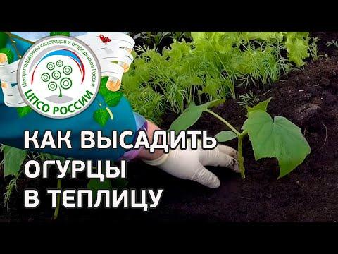 Посадка огурцов в теплицу. Как посадить рассаду огурцов.