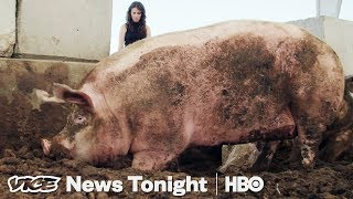 Video Pigs Are Eating Las Vegas' Casino Leftovers and It's Saving the Planet MP3, 3GP, MP4, WEBM, AVI, FLV Agustus 2019
