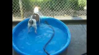 Jack, the Jack Russell Terrier, Plays with the hose
