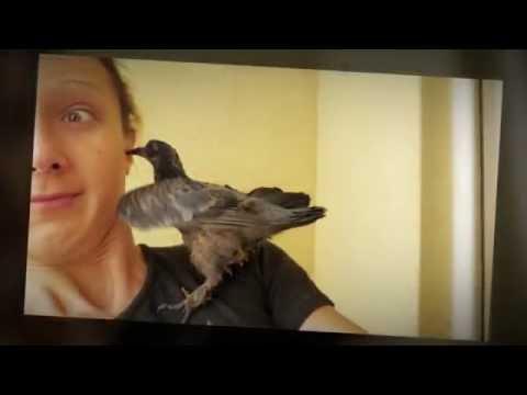 как научить голубенка клевать