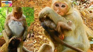 OMG! Danna monkey reject milk&hurt Donny Pity baby hug mom tightly cos hungry milk Monkey Daily 552