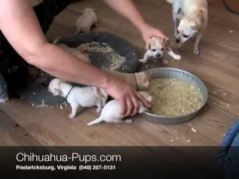 Weaning Chihuahua Puppies – 4 weeks old – First Solid Food