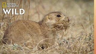 Prairie Dog Steals Nesting Supplies   Prairie Dog Manor by Nat Geo WILD