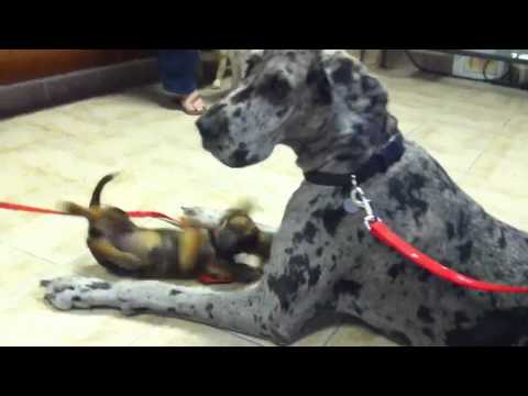 Great Dane Has Great Patience for Playful Puppy