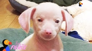 Feisty Pink Puppy Looks Just Like A Tiny Pig - PIGLET the Puppy | The Dodo Little But Fierce by The Dodo