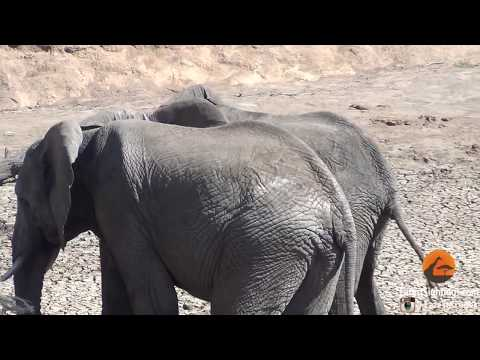 Video Male Elephants Mounting (Show of Dominance) download in MP3, 3GP, MP4, WEBM, AVI, FLV January 2017
