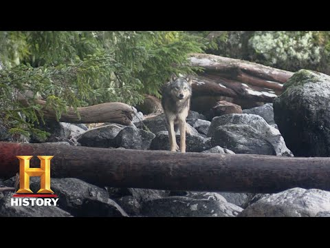Alone: Brooke Spots a Wolf on the Beach (Season 4, Episode 1) | History