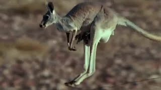Hopping to water - Big Red Roos - BBC