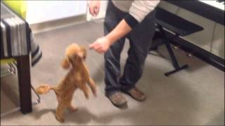 Toy Poodle Cinnamon - Still Training.