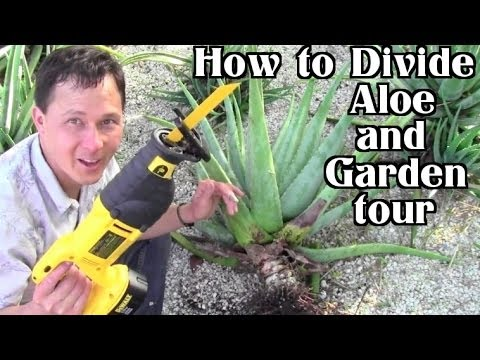 Front Yard Aloe Garden Tour: How to Harvest, Transplant & Divide Pups