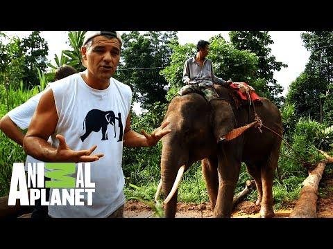 Frank cambia un tractor por la libertad de un elefante  Wild Frank: Al rescate  Animal Planet