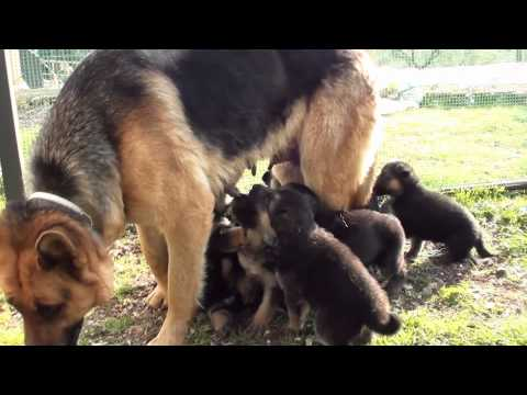 il pastore tedesco e la sua cucciolata
