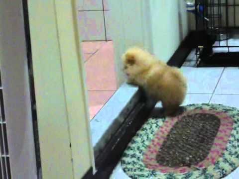 出生不到五個月的可愛小狗,一直跳不過門檻…