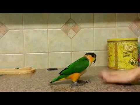 Hopping Caique Parrot Cute Parrot Jumps Across Counter